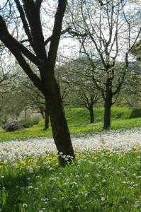 Blühender Obstgarten in Eschenbach