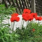 Mohnblumen im Garten