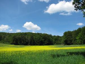 Rapsblüte auf der Hochfläche oberhalb von Eschenbach